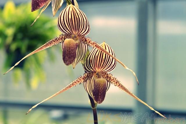 Rothschild Orkide